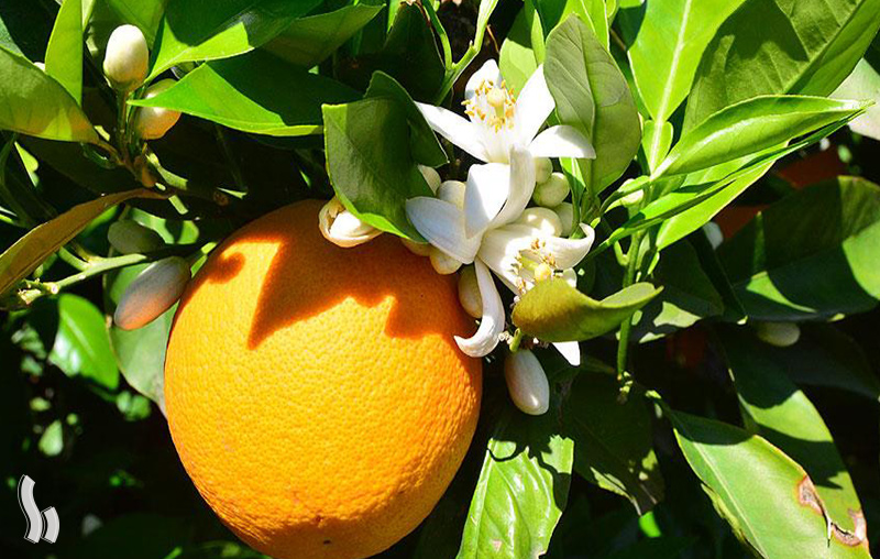فواید سلامتی بهار نارنج